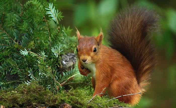 Red Squirrel, Northumberland